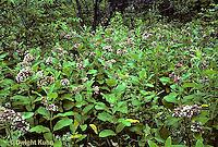 MK16-002e  Milkweed - field of milkweed plants in bloom - Asclepias syriaca