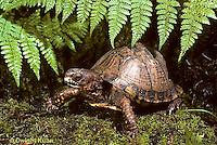 1R40-008x  Eastern Box Turtle - Terrapene carolina