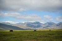 Musk Oxen near Nome, Alaska. Photo by James R. Evans