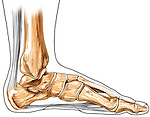 This medical illustration features the bones of foot plus the achilles (calcaneal) tendon and plantar ligament from a medial view. It is surrounded by an ink outline of foot.