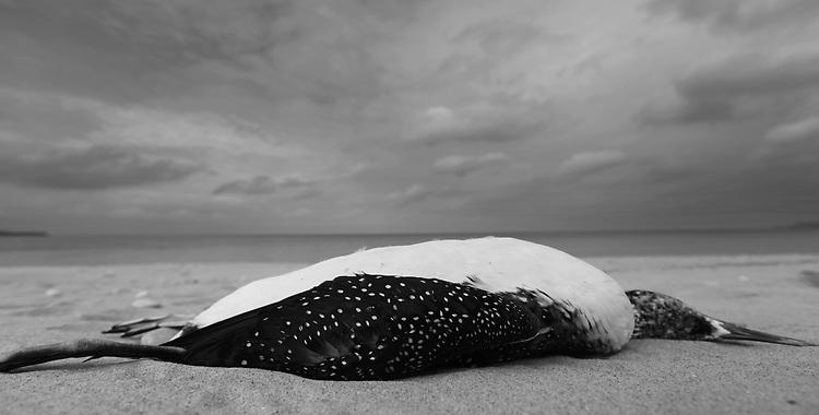 dead loon