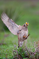 572110174 a wild lesser prairie chicken tympanuchus pallidicintus displays and struts on a lek on a remote ranch near canadian in the texas panhandle