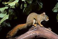 MA07-075z  Red Squirrel - looking around - Tamiasciurus hudsonicus