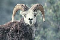 Stone's Sheep Ram.