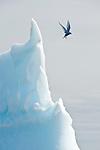 Hovering Antarctic Tern (Sterna vittata) and iceberg. Yalour Islands, Antarctic Peninsula, Antarctica.