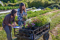 Women farmers (l-r) Nina Fitch and Katie Brimm, with cart of fresh harvested flowers; No-till flower farming, Singing Frogs Farm