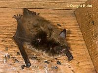 MA20-602z  Little Brown Bats, Myotis lucifugus