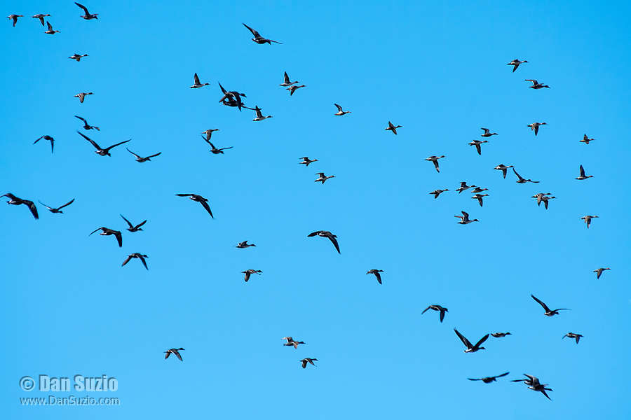 Greater White-fronted Geese, Anser albifrons, and Northern Pintails, Anas acuta, fly over Colusa National Wildlife Refuge, California