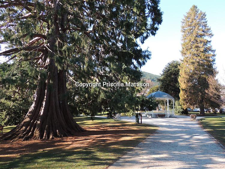 Queenstown, New Zealand - September 12, 2012:  A giant redwood tree grows in Queenstown Gardens.