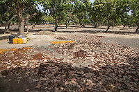 Cashew Nut Farm, Senegal.  Example of a Well-tended Farm, free of underbrush and trees with lower branches pruned away.