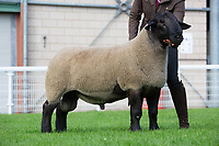 N.S.A Wales & Border Ram Sales, Royal Welsh Showgound<br /> Lot 663owned by Jane Campbell sold 1650gns<br /> ©Tim Scrivener Photographer 07850 303986<br />      ....Covering Agriculture In The UK....