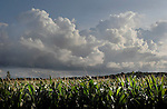 Clouds, remnents of a front which brought rain to the area, passes above a crop of corn. (DOUG WOJCIK MEDIA)
