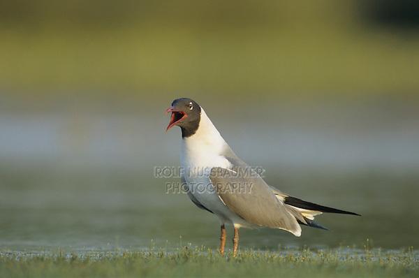 Laughing Gull, Larus atricilla, adult calling, Welder Wildlife Refuge, Sinton, Texas, USA, June 2005