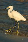 Snowy Egret at Sunrise Sanibel Island Florida