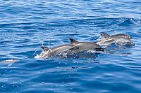 Atlantic Spotted Dolphin group (Stenella frontalis) porpoising. Azores, Atlantic Ocean