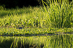 Damon, Texas; a tricolored heron forages for food on a bed of water hyacinth floating on the surface of the slough in late afternoon sunlight