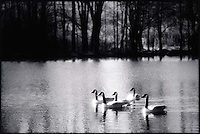 Geese on pond<br />