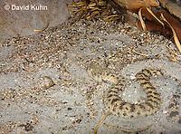 0424-1102  Camouflaged Snake, Sahara Sand Viper (Avicenna viper), North African Desert, Cerastes vipera  © David Kuhn/Dwight Kuhn Photography