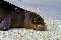 The endangered Hawaiian monk seal, latin name: monachus schauinslandi off Kura atoll, North West Hawaiian island chain