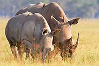 White rhinoceroses, square-lipped rhinoceroses (Ceratotherium simum), with oxpeckers (Buphagus) perched on their backs, near Lake Nakuru, Kenya, Africa