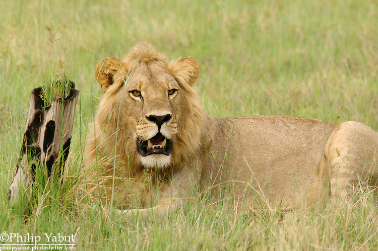 Lions spend a lot of time just sitting around.<br /> <br /> Pantera leo, Kwara Reserve, Okavango Delta, Botswana