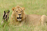 Lions spend a lot of time just sitting around.<br />
