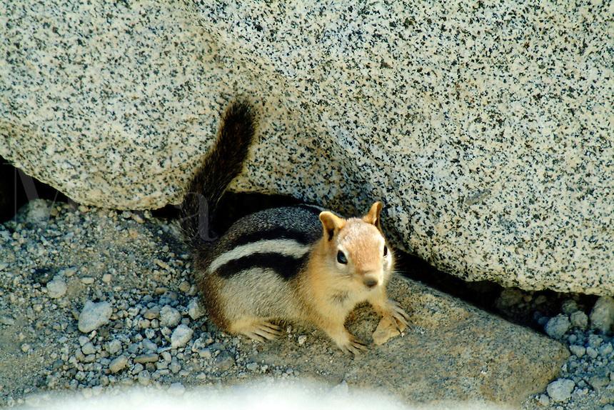 A chipmunk sits next to some rocks at Lake Tahoe, California.
