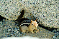 A chipmunk sits next to some rocks at Lake Tahoe, California.
