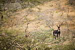 Donkey (Equus asinus) feral male in shrubland, Hawf Protected Area, Yemen