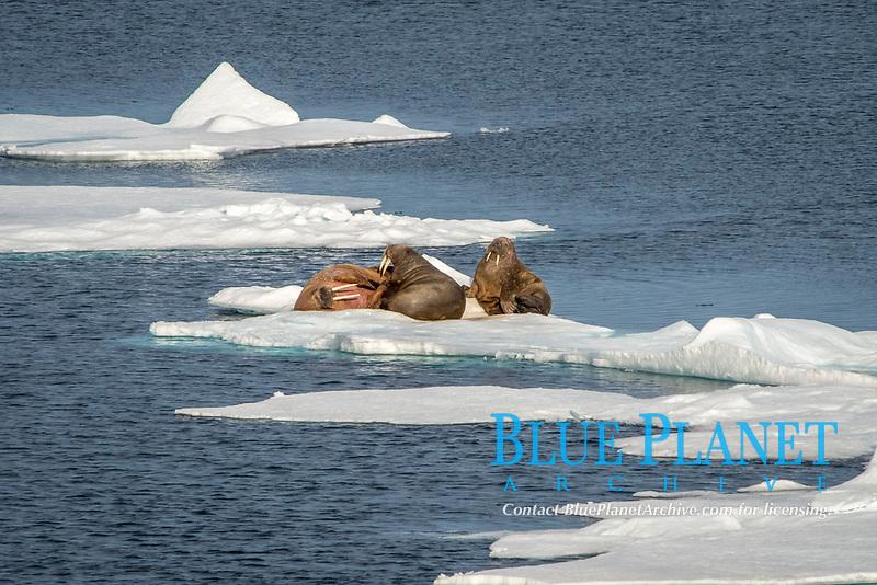 Three walruses, Odobenus rosmarus rosmarus, on an ice shelf, Svalbard, Arctic, Norway, Europe