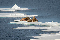 Three walruses, Odobenus rosmarus rosmarus, on an ice shelf, Svalbard, Arctic, Norway, Europe