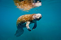 Florida manatee, Trichechus manatus latirostris, juvenile, a subspecies of West Indian manatee, Trichechus manatus, swimming at Jurassic Spring, Crystal River State Park, Florida, USA
