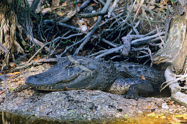 Immature American Alligator (Alligator mississippiensis) using burrow in winter.