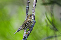 Female Blackpol Warbler ( Dendroica striata ) along Lake Erie shoreline during spring migration. North America.