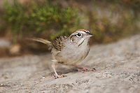 Rufous-crowned Sparrow, Aimophila ruficeps, adult, Uvalde County, Hill Country, Texas, USA, April 2006