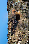 Male northern flicker at the nest hole in northern Wisconsin.
