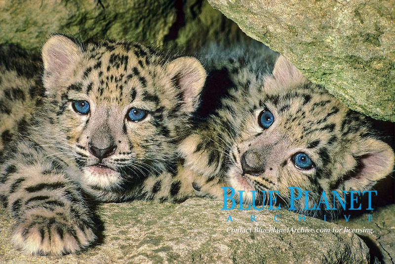 Snow Leopard (Panthera uncia) two 9 week old cubs