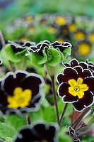 Polyanthus 'Gold Laced Jack-in-the-Green' (Barnhaven Enthusiast's primrose)