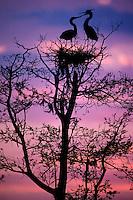 Great blue herons (Ardea herodias) on nest.