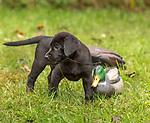 Black Labrador retriever puppy playing with a mallard decoy.