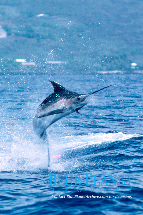 Pacific blue marlin, Makaira nigricans, leaping, Kona, Big Island, Hawaii, USA, Pacific Ocean