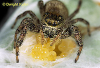 JS01-033x  Jumping Spider - female protecting eggs - Phidippus clarus