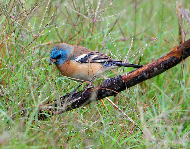 Lazuli bunting first-spring male