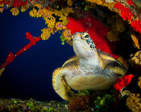 green sea turtle, Chelonia mydas, Kwajalein Atoll, Marshall Islands, Pacific Ocean