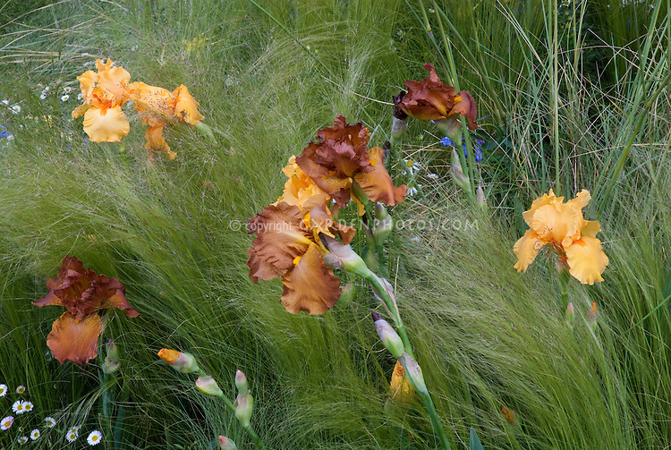 A feeling of movement in the garden with brown and orange iris growing in ornamental grass waving in wind