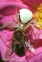 CS01-008a  Crab Spider consuming bee prey - Misumena vatia