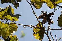 TURKEY, Cumayeri near Duzce, hazelnut farming and harvest, hazelnut at shrub / TUERKEI, Cumayeri, Anbau und Ernte von Haselnuessen, Haselnuss am Strauch, Haselnuesse sind ein wichtiger Rohstoff fuer Schokocreme wie Nutella oder die Schokoladenindustrie