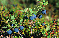 Rauschbeere, Rausch-Beere, Moorbeere, Trunkelbeere, Früchte, Vaccinium uliginosum, Bog Bilberry, Bog Wortleberry