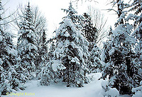 WT09-007b  Forest - winter