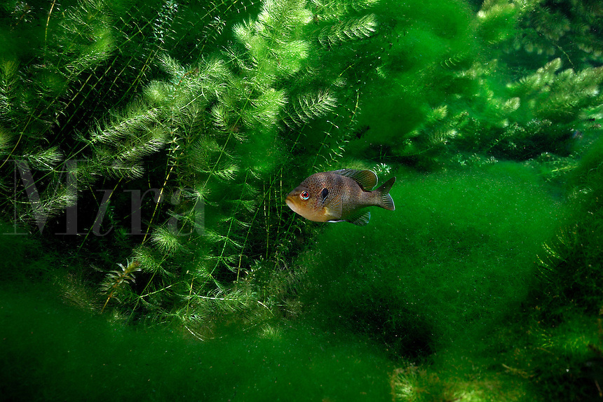 Spotted sunfish, Wacissa river, Florida